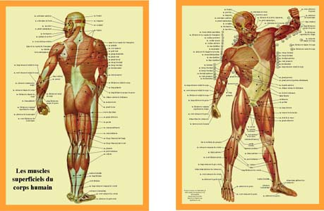 muscle17.jpg